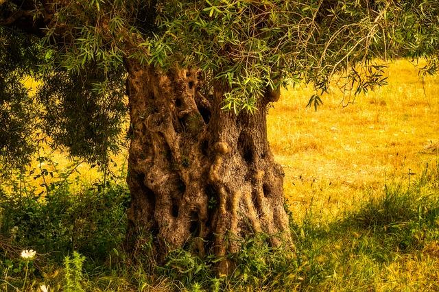 kmen olivovníku.jpg
