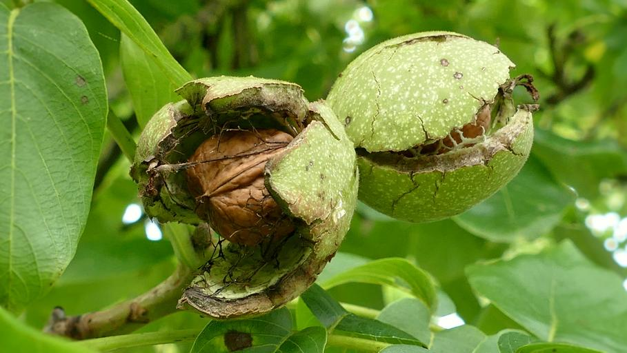 zralé ořechy na stromě