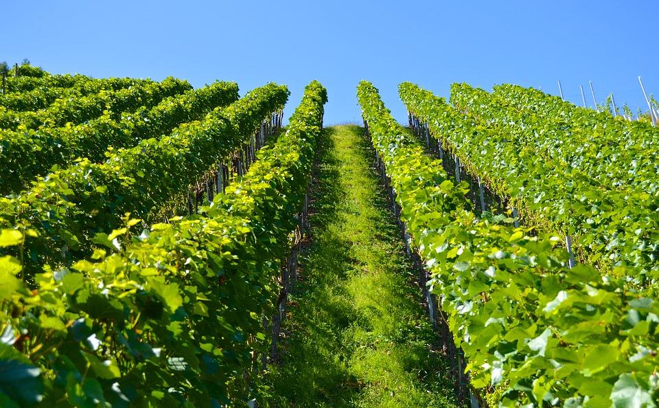 kopcovitý vinohrad